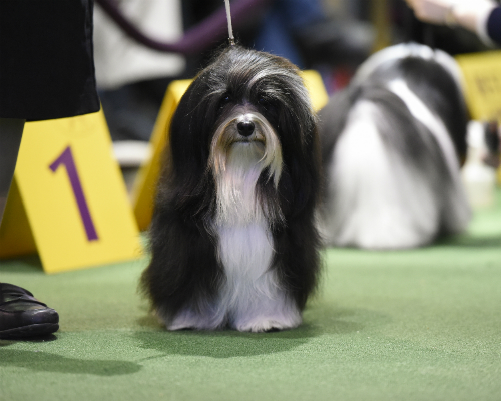 Westminster dog show 2016 tv how to live stream kennel club event