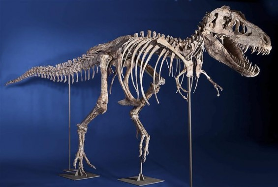 An eight-foot tall, 24-foot long, 75% complete Tyrannosaurus bataar skeleton is seen in this undated handout photo from Heritage Auctions in New York.