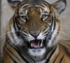 A Royal Bengal tiger (not Michael Jackson's tiger) is seen at a zoo in Dhaka March 30, 2009.