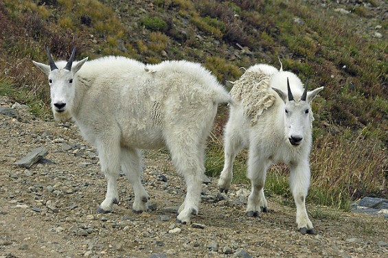 Mountain Goats.