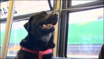 Eclipse, The Seattle Bus Riding Dog