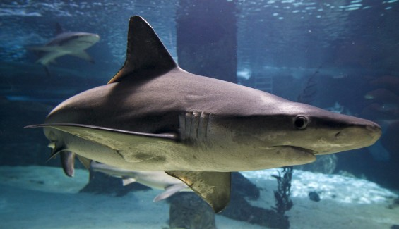 A gray reef shark pictured