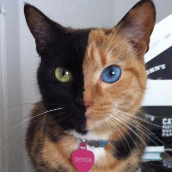 Venus - Two Faced Cat