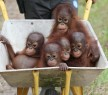 Rescued Baby Orangutans