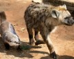 Otter Is Best Friends With A Hyena And A Lion
